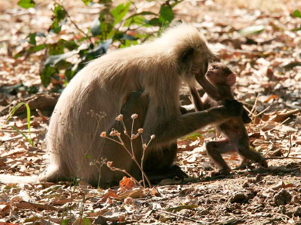 Hanuman Langur © C Bloomfield