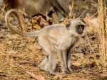 Hanuman Langur © P Clarke