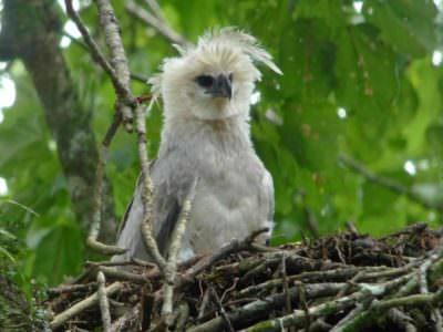 Harpy Eagle © Canopy Family