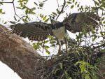 Harpy Eagle © David Tipling