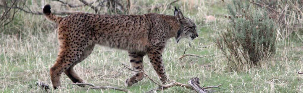 Iberian Lynx, La Lancha © H Moore
