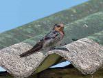 Hill Swallow © J Thomas