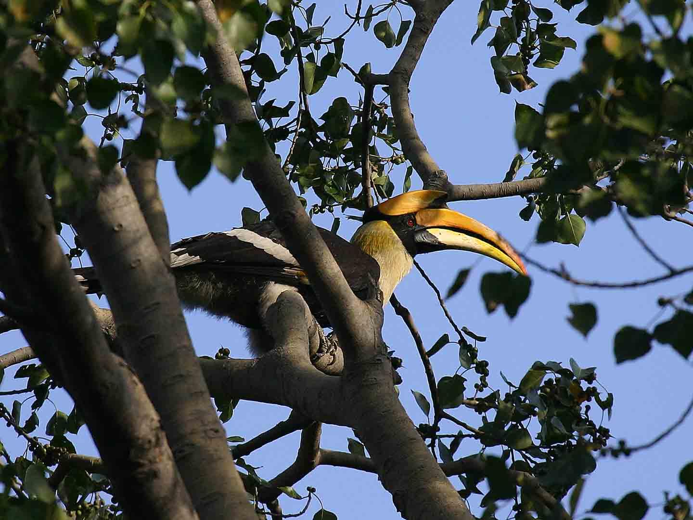 Great Hornbill © K Barnes