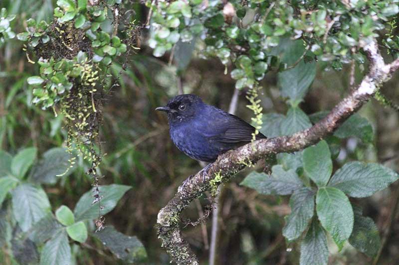 Sri Lanka Whistling Thrush © Steve P. Dudley