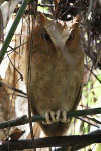 Serendib Scops Owl © Steve P. Dudley
