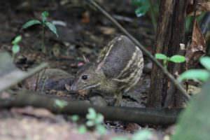 Mouse Deer © Steve P. Dudley