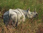 Indian One-horned Rhinoceros, Kaziranga © W Scott
