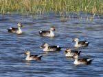Indian Spot-billed Ducks © T Lawson