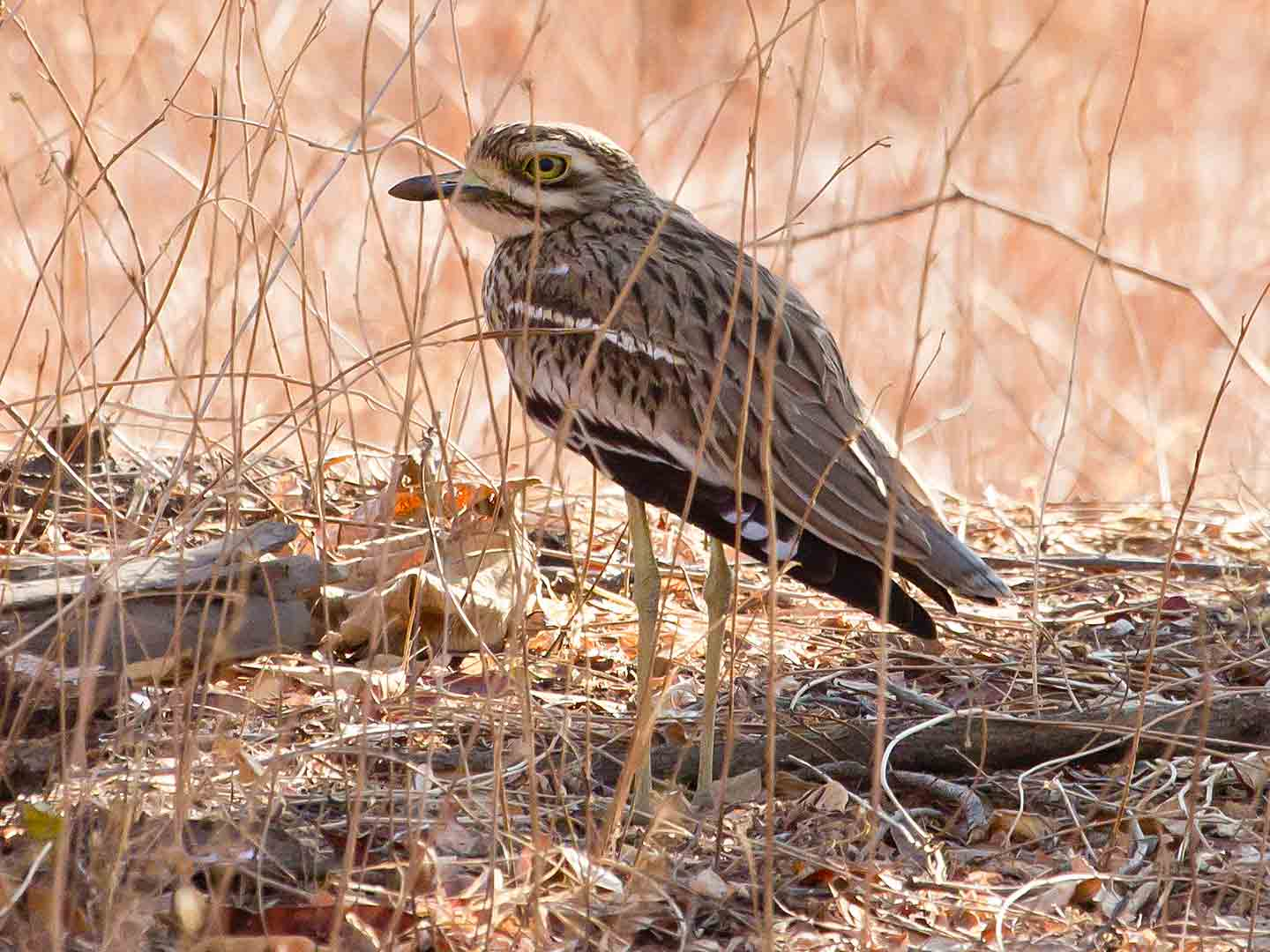 Indian Thick-knee © T Lawson