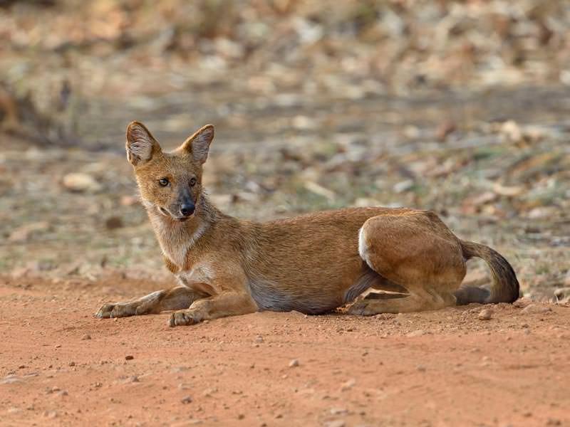 Indian Wild Dog © I Newton