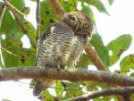 Jungle Owlet © J S Bridges
