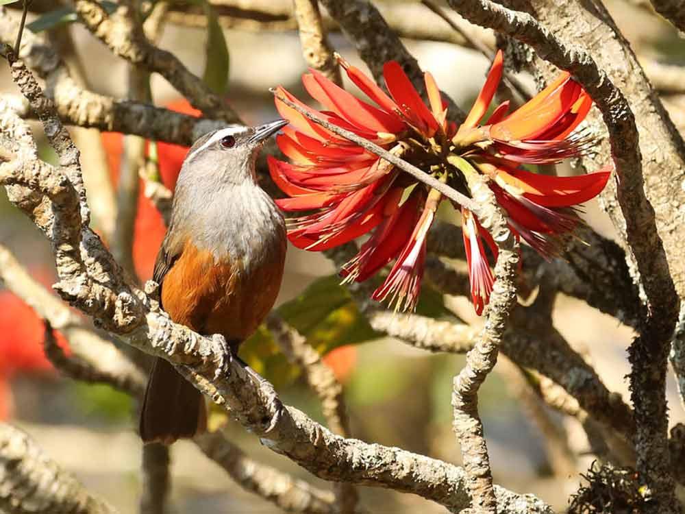 Kerala Laughingthrush © R Wasley
