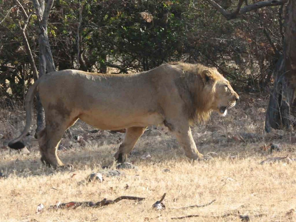 Asiatic Lion Gir National Park © R Woods