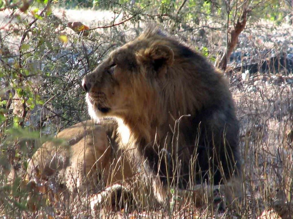 Asiatic Lion, Gir National Park © R Woods