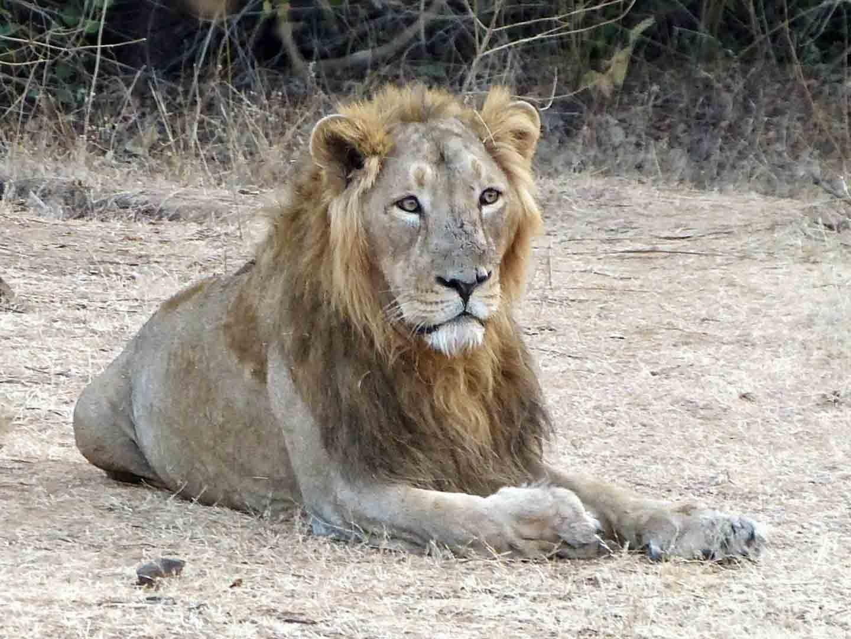 Asiatic Lion, Gir National Park © K Claydon
