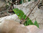 Green Forest Lizard © C Simpson