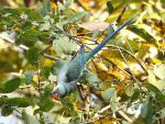 Blue-winged Parakeet © R Wasley