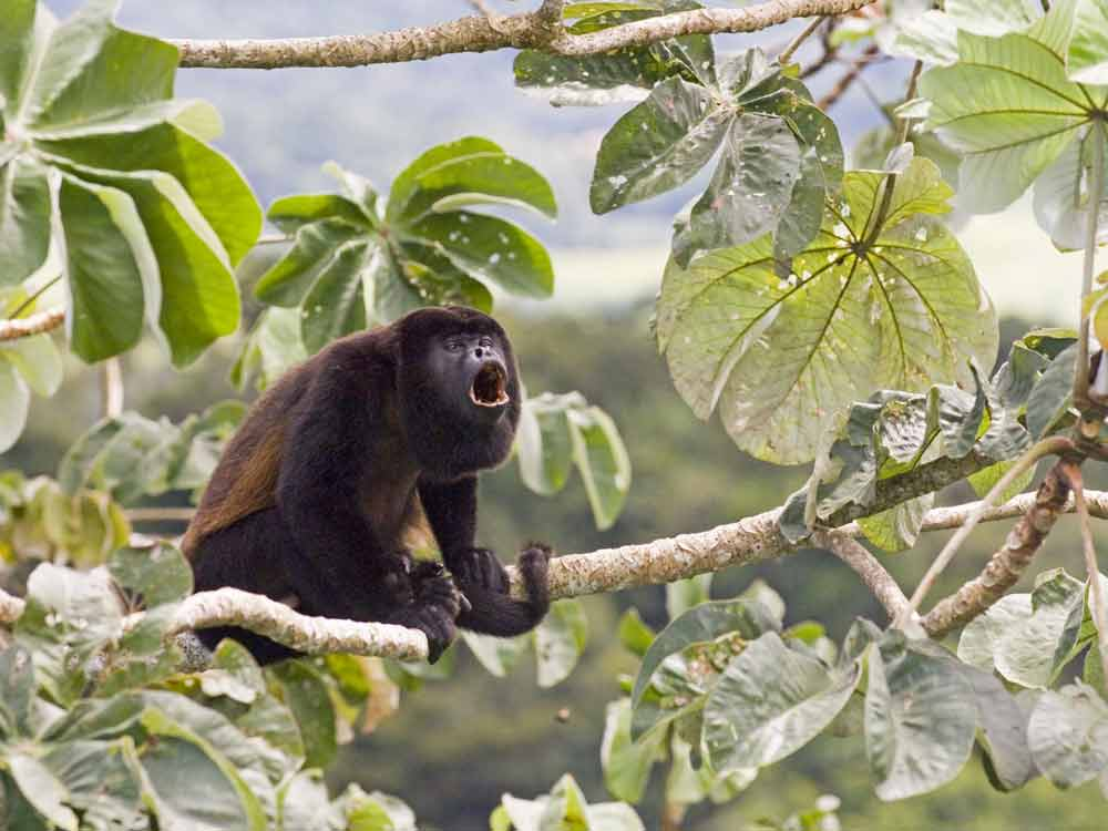 Mantled Howler © D Tipling