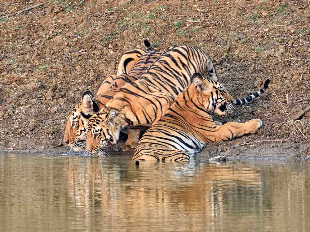 Maya and cubs, Tadoba © I Newton
