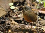 Moustached Antpitta © M O'Dell