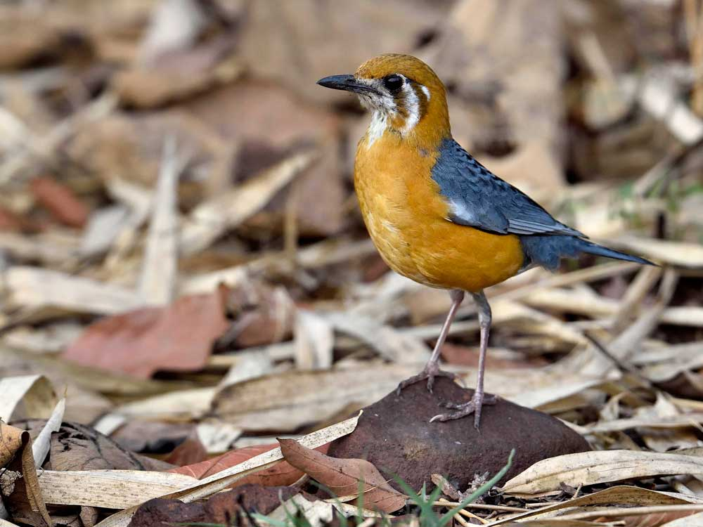 Orange-headed Thrush © I Newton