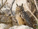 Indian Eagle Owl © D Bryan