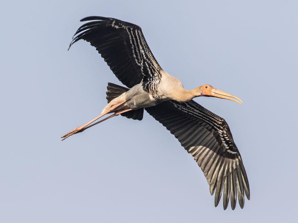 Painted Stork © P Clarke