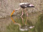 Painted Stork © T Lawson