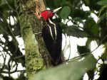 Pale-billed Woodpecker © J Badley