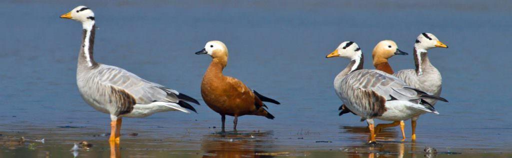 Ruddy Shelduck and Bar-headed Geese © T Lawson