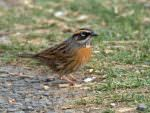Rufous-breasted Accentor © J Bridges