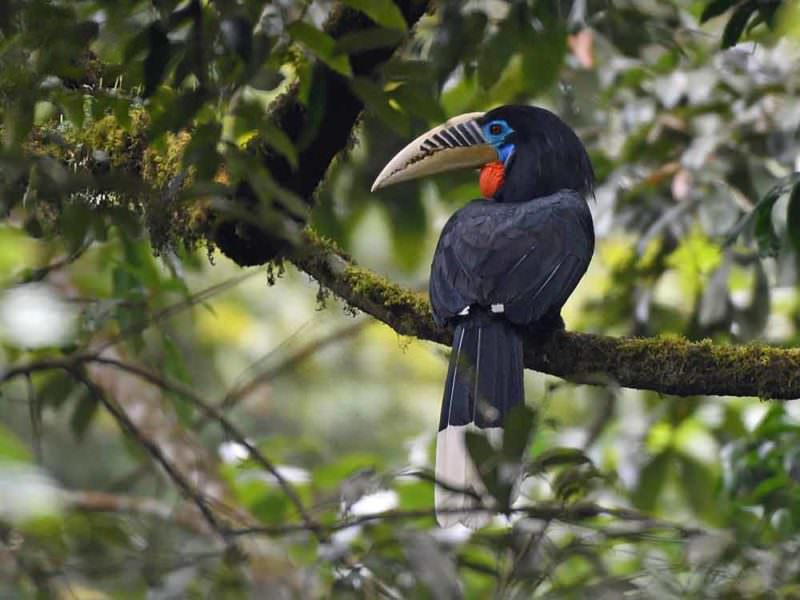Rufous-necked Hornbill © Wild About Travel