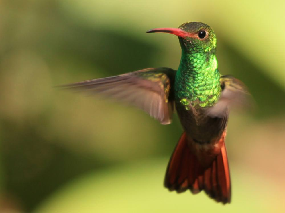 Rufous-tailed Hummingbird © M O'Dell