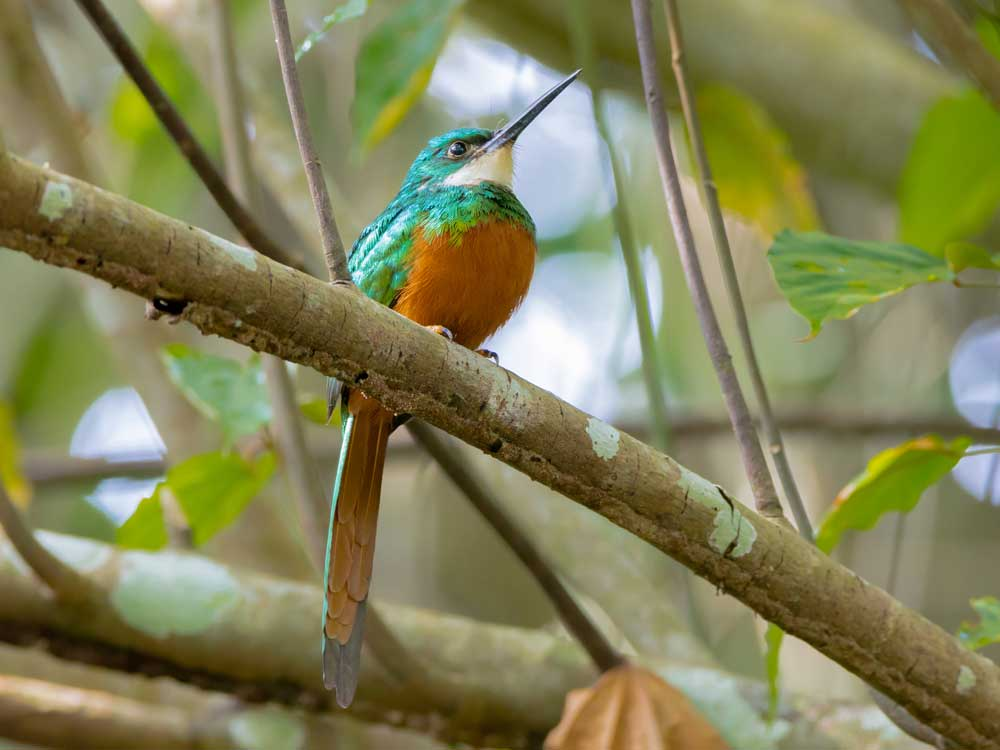 Rufous-tailed Jacamar © Rafael Lau