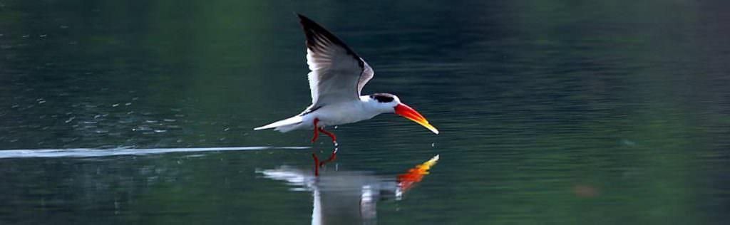 Indian Skimmer, Chambal © M Addis