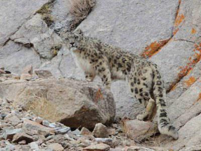 Snow Leopard staring © N Robinson