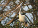 Spot-billed Pelican © J Thomas