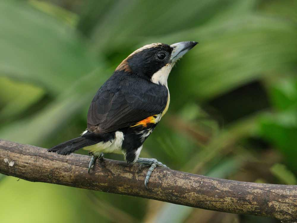 Spot-crowned Barbet © C Bethancourt