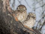 Spotted Owlets © P Clarke