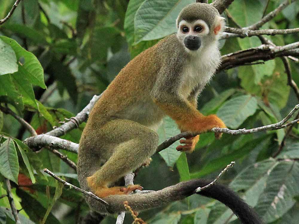 Squirrel Monkey © K Barnes