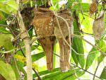 Sri Lanka Frogmouth © R Wasley