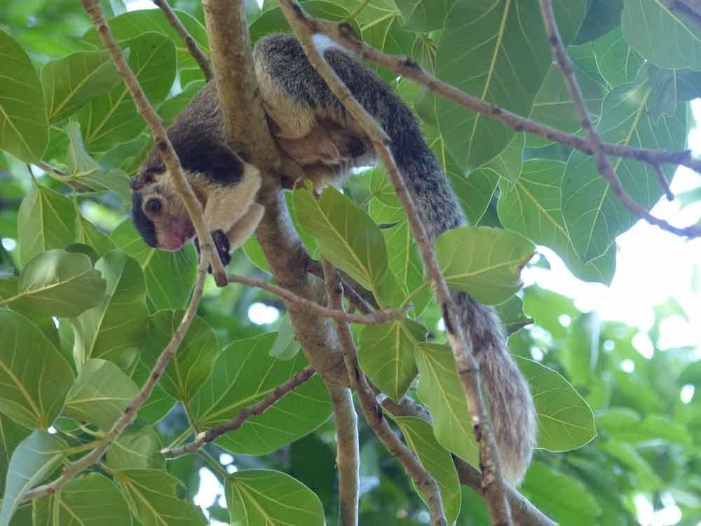 Sri Lanka Giant Squirrel © J Thomas
