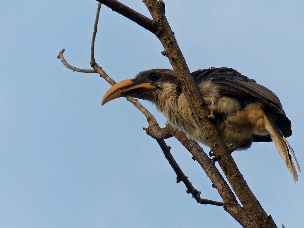 Sri Lanka Grey Hornbill © J Thomas