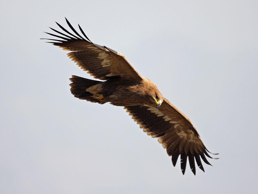 Steppe Eagle © C Bradshaw