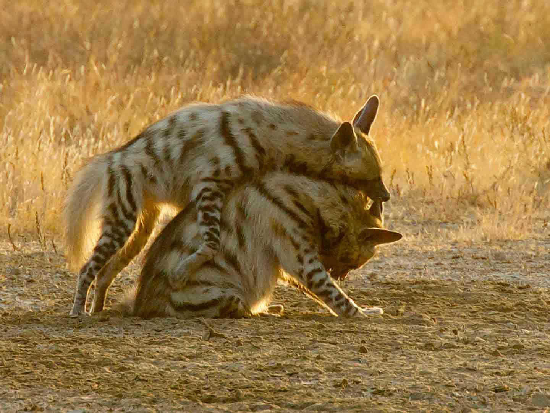 Striped Hyena Velavadar © J Glover