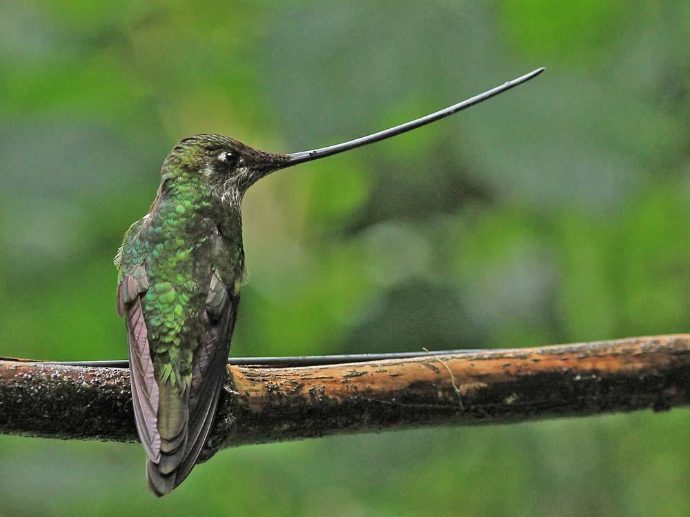 Sword-billed Hummingbird © K Barnes