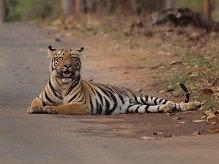 Bengal Tiger at Tadoba © J Dale.