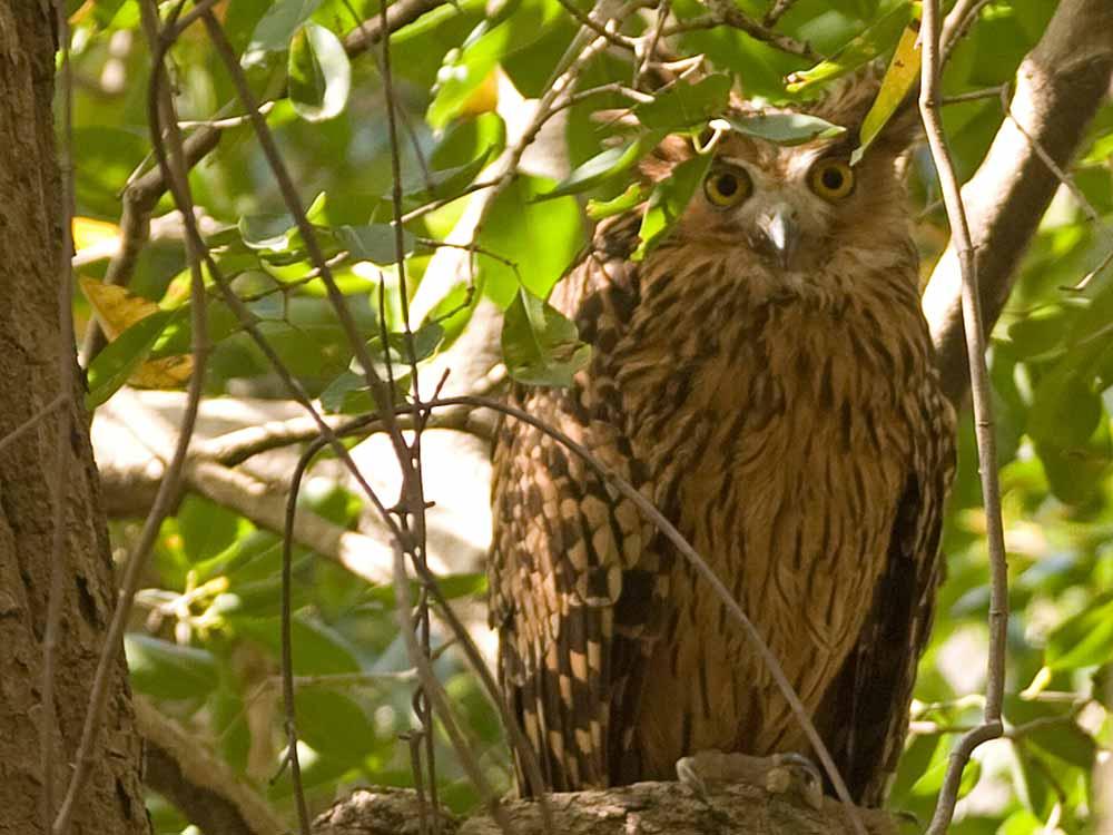 Tawny Fish Owl © J Bridges