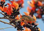 Tawny-bellied Babbler,Gir National Park © R F Porter