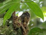 Tawny-bellied Screech Owl © M O'Dell